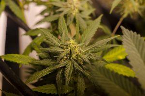 Is Marijuana Legalization Causing More Pedestrian Deaths?